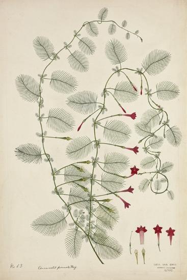 Quamoclit Pinnata Boj, 1800-10--Giclee Print