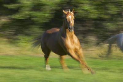 Quarter Horse Galloping-DLILLC-Photographic Print