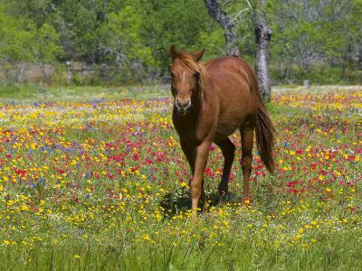 Quarter Horse in Wildflower Field Near Cuero, Texas, USA-Darrell Gulin-Photographic Print