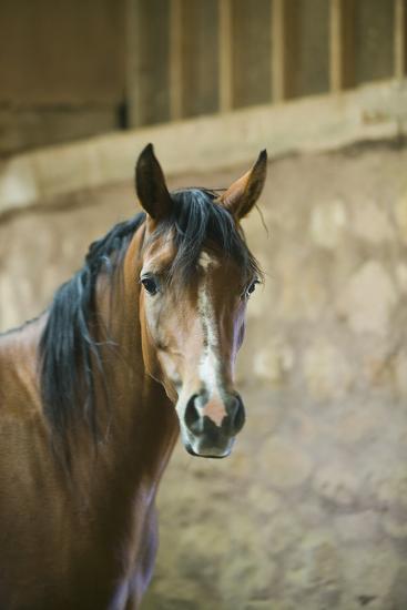 Quarter Horse with Blaze Marking-DLILLC-Photographic Print