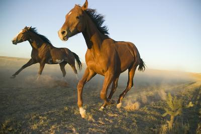 Quarter Horses Running in Field-DLILLC-Photographic Print