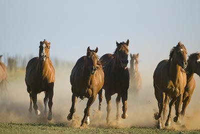 Quarter Horses Running-DLILLC-Photographic Print