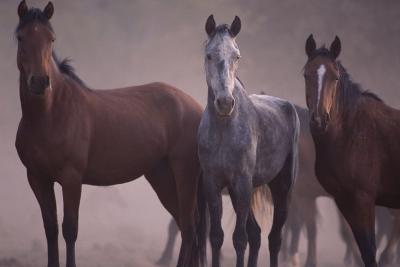 Quarter Horses-DLILLC-Photographic Print
