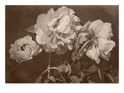 Quatre pivoines-Charles Aubry-Giclee Print
