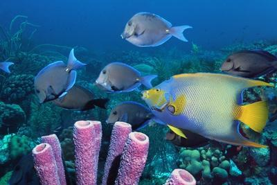 Queen Angelfish And Blue Tangs-Georgette Douwma-Photographic Print