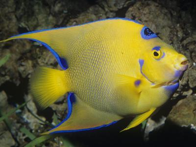 Queen Angelfish, Bermuda to Brazil-Ken Lucas-Photographic Print