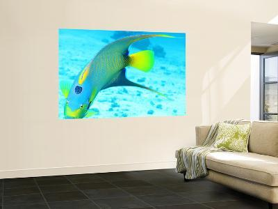 Queen Angelfish (Holacanthus Ciliaris), Paradise Reef-Dan Herrick-Wall Mural