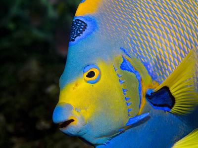 Queen Angelfish (Holacanthus Ciliaris)-Stephen Frink-Photographic Print