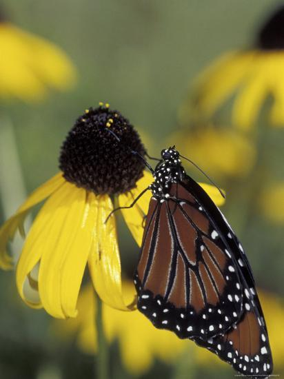 Queen Butterfly on Black-Eyed Susan, Florida, USA-Maresa Pryor-Photographic Print