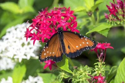 https://imgc.artprintimages.com/img/print/queen-butterfly-red-pentas-usa_u-l-q1d10fo0.jpg?p=0