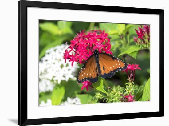Queen butterfly, red Pentas, USA-Lisa S. Engelbrecht-Framed Premium Photographic Print