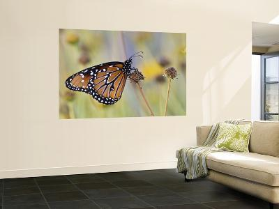 Queen Butterfly Resting on Dried Flower, Texas, USA-Larry Ditto-Wall Mural