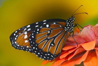 Queen Butterfly-Darrell Gulin-Photographic Print