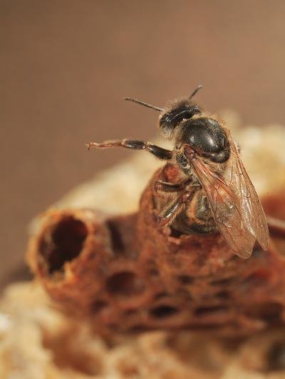 Queen Honey Bee Emerging from its Cell-Eric Tourneret-Photographic Print