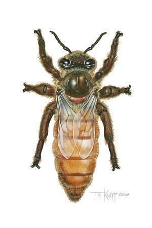 https://imgc.artprintimages.com/img/print/queen-honey-bee_u-l-pyo3yn0.jpg?p=0