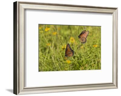 Queens (Danaus gilippus) butterfly pair in breeding activity-Larry Ditto-Framed Photographic Print