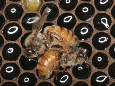 Queens Honey Bees Fighting-Eric Tourneret-Photographic Print
