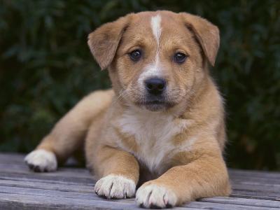 Queensland Heeler Puppy-DLILLC-Photographic Print