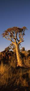 Quiver Tree (Aloe Dichotoma) at Sunset, Namibia