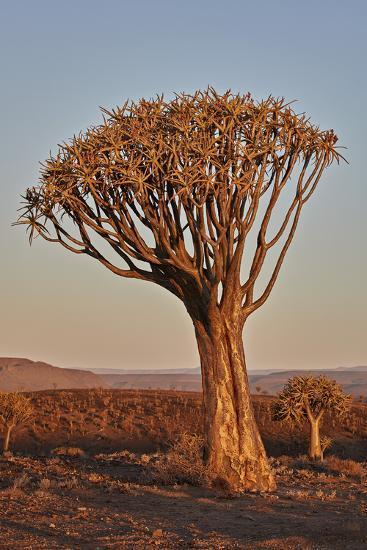 Quiver tree (Kokerboom) (Aloe dichotoma), Gannabos, Namakwa, Namaqualand, South Africa, Africa-James Hager-Photographic Print