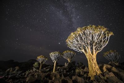 Quiver Trees (Aloe Dichotoma) with the Milky Way at Night, Keetmanshoop, Namibia-Wim van den Heever-Photographic Print