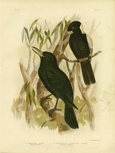 Quoy's Crow-Shrike or Black Butcherbird, 1891-Gracius Broinowski-Giclee Print