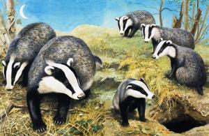 Badgers, from 'Nature Wonderland', 1970 by R. B. Davis