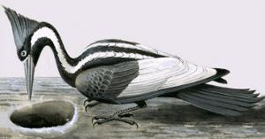 Ivory-Billed Woodpecker by R. B. Davis