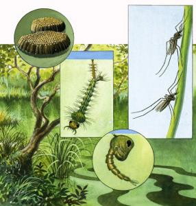 Lifecycle of the Mosquito by R. B. Davis