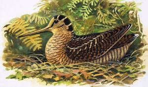Looking at Nature: The Woodcock by R. B. Davis
