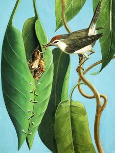 The Tailor Bird, 1970 by R. B. Davis