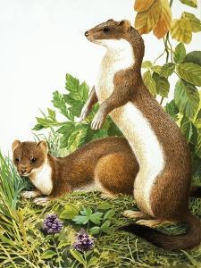 Weasels by R. B. Davis