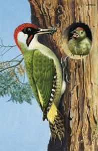 Woodpecker by R. B. Davis