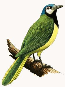 X For Xanthoura Luxuosa or American Jay by R. B. Davis