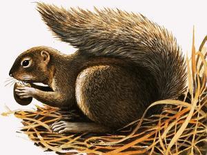 X For Xerus Erythropus or African Squirrel by R. B. Davis