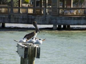 Pelican and Sea Birds on Post, Key West, Florida, USA by R H Productions