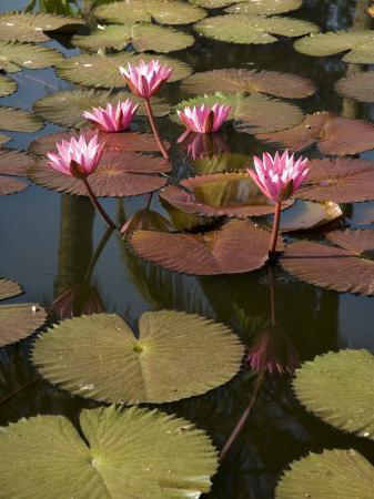 Water Lilies, Goa, India