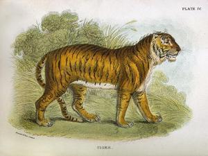 Tiger by R. Lydekker