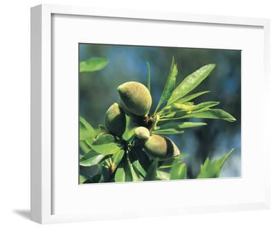 Close-Up of Almonds (Prunus Dulcis)