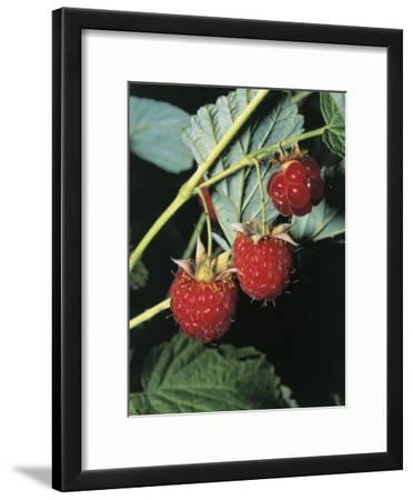 Close-Up of Raspberries (Rubus Idaeus)