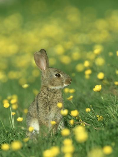 Rabbit, Adult Amongst Buttercups, UK-Mark Hamblin-Photographic Print