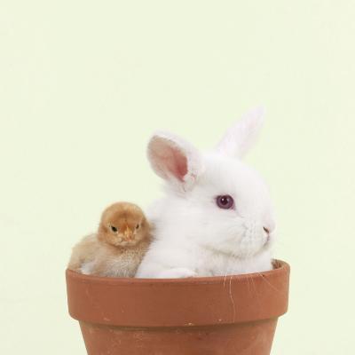 Rabbit and Chick Mini Ivory Satin Rabbit Sitting--Photographic Print