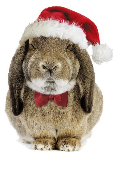 Rabbit Belier Francais Breed Wearing Christmas--Photographic Print