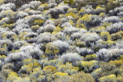 Rabbit Brush And Silver Sage Bloom In Late Season Color Along The Shores Of Mono Lake-Jay Goodrich-Photographic Print