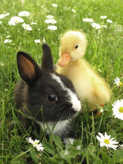 Rabbit Bunny And Duckling Best Friends-Richard Peterson-Photographic Print