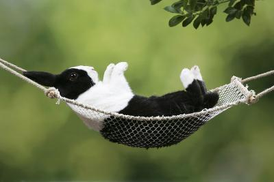 Rabbit in a Hammock at Easter--Photographic Print