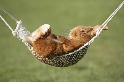 Rabbit Lying Down in a Hammock--Photographic Print