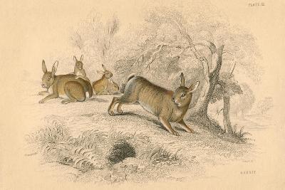 Rabbit (Oryctolagus Cuniculu), 1828--Giclee Print