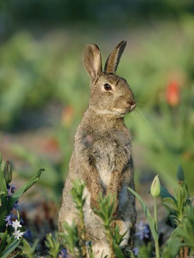 Rabbit (Oryctolagus Cuniculus) Germany-Konrad Wothe-Photographic Print