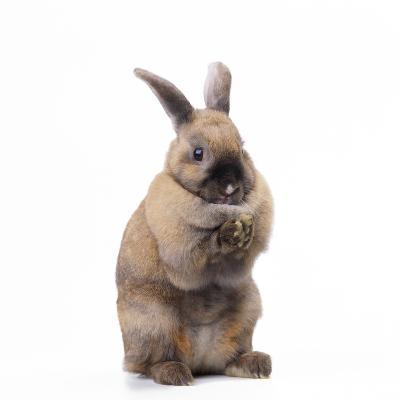Rabbit Sitting Up on Hind Legs--Photographic Print
